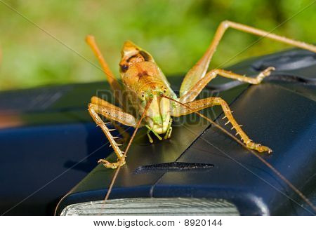 Grasshopper On Electronic Flash