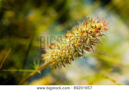Narrow Leaved Clover, Trifolium Angustifolium