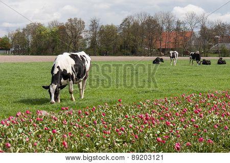Grazing Cows Near A Dutch  Tulip Field