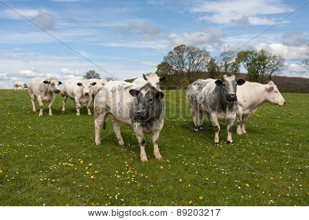 Flock Of Cows In Meadow With Dandelions