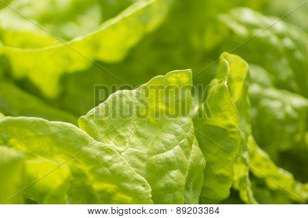 Lush Green Leaves Of Fresh Lettuce