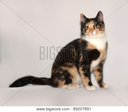 Tricolor Young Cat Sitting On Gray
