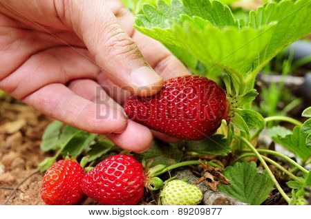 closeup of the hand of a young man picking a strawberry from the plant