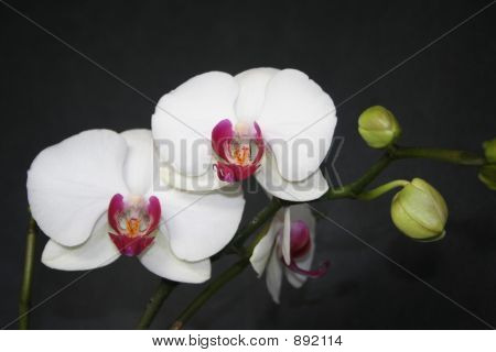 Fragile Orchid Beauty