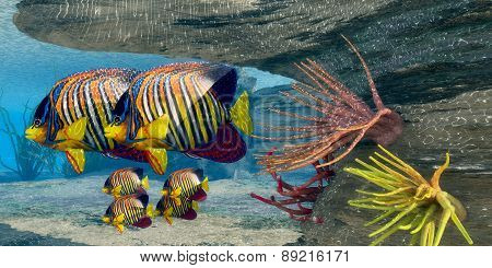 Royal Angelfish Family