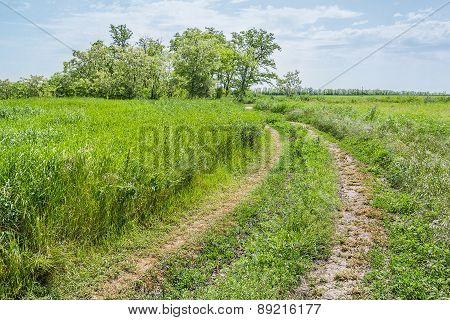 Road In Field And Flowering Acacia Trees