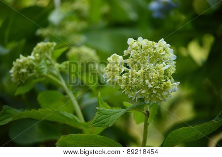 Young Hydrangea Blooms On Bush