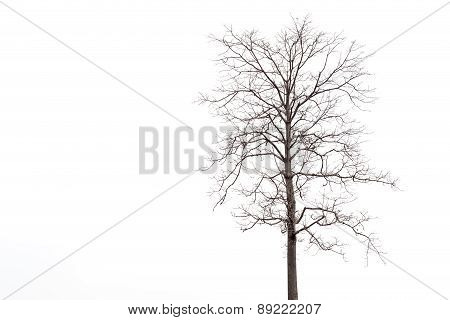 Dead Tree Without Leaf Isolated On White