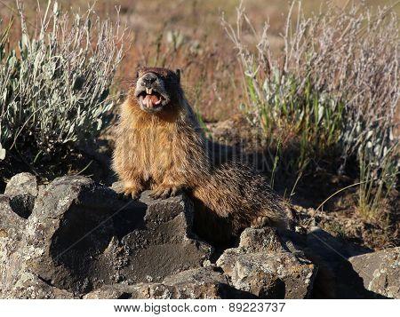 Marmot Calling