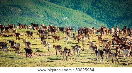 Herd of Goats Grazing in the Mountains in Spain