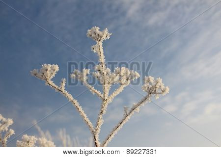 Plant in frost on the background of blue sky