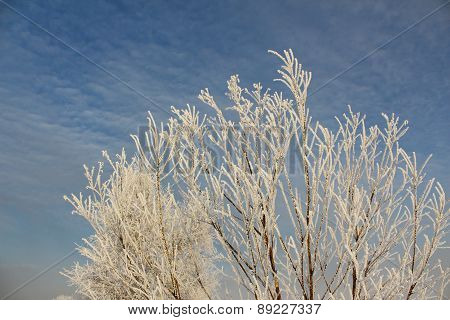 Branches of trees in hoarfrost against the sky
