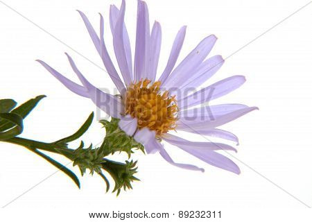 Missouri Wildflower