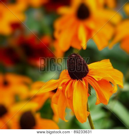 Black Eyed Susan (rudbeckia) flower with an intentional 85mm f1.2 blur.