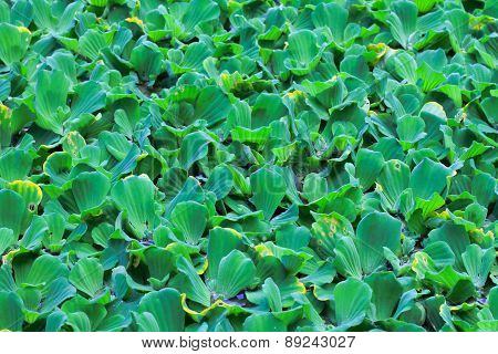 Beautiful green Pistia stratiotes wood background
