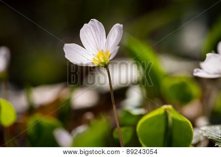White Wild Flowers Blooming. Wood Sorrel