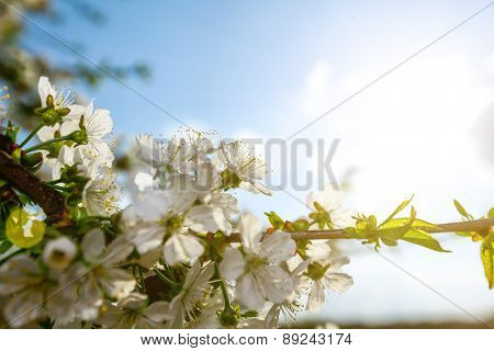 Flowers of the cherry tree, backgrounds
