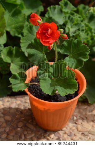 Geranium in a flowerpot.