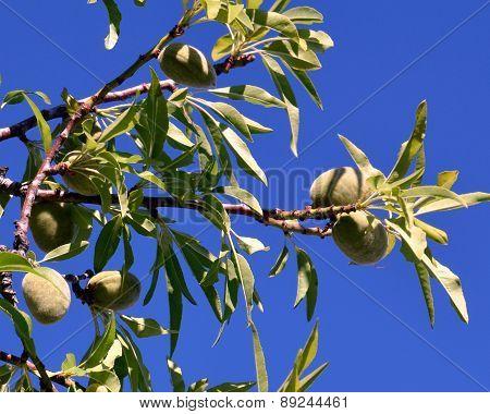 Almond tree.