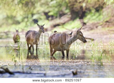 Pregnant Hinds In Water
