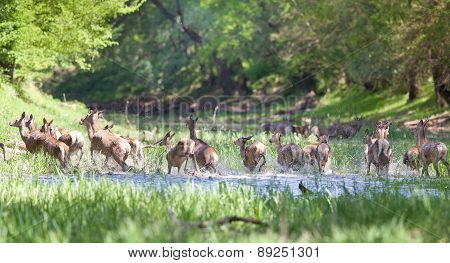 Herd Of Hinds And Red Deer
