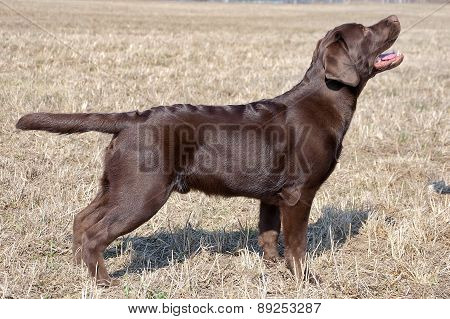 Chocolate Labrador Retriever, Age 7 Months.