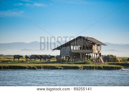 Buffalo Standing At River, Myanmar