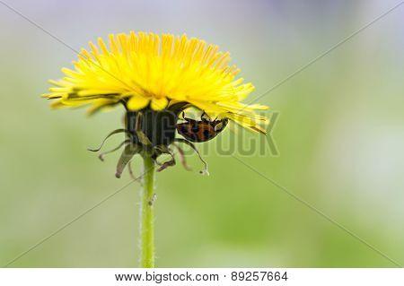 ladybug on yellow dandelion
