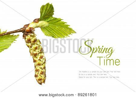 Birch Twig With Catkin Isolated On White Background