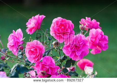 Pink roses and dew drops