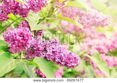 Purple Lilac Branch