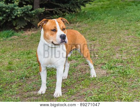 American Staffordshire Terrier straight.