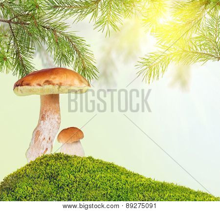 two penny buns under pine in green moss on sunny background