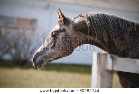 Portrait Of A Sports Thoroughbred Stallion