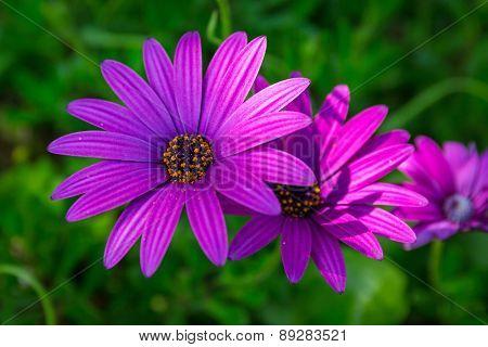 Close up of purple daisy flower
