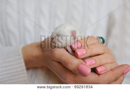 Newborn kitten in female hands.
