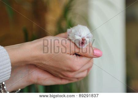 Newborn white kitten in female hands.