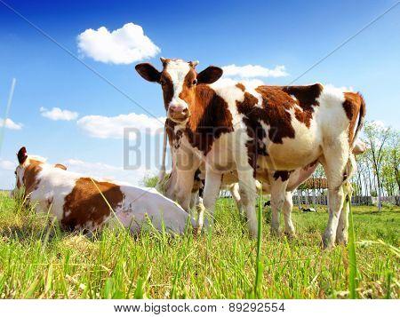 calves in the meadow