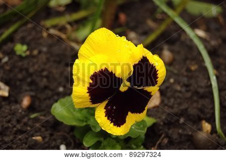 Yellow And Black Pansy Flower