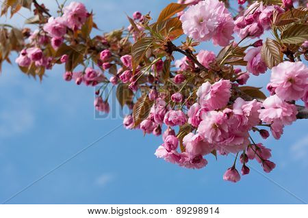 Sakura Flower Or Cherry Blossom