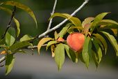 stock photo of peach  - Peach on a peach tree against a green and gray background - JPG
