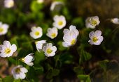 stock photo of sorrel  - Beautiful small flowers of wood sorrel blooming in early springtime in forests - JPG