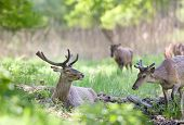 image of antlers  - Red deer with growing antlers lying on fresh green grass in forest on sunny spring day - JPG
