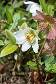 pic of helleborus  - white hellebore flower also known as Christmas rose and Lenten rose - JPG