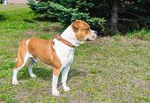 pic of american staffordshire terrier  - The American Staffordshire Terrier is on the grass - JPG