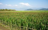 pic of maize  - Viietnamese agricultural field at Daklak Vietnam vast maize field intercrop with paddy plant good crop on plantation - JPG