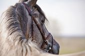 image of stallion  - Portrait of a sports stallion in a brown bridle - JPG