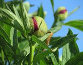 pic of bud  - The bud of a peony plant which is just about to open - JPG
