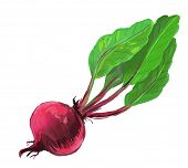 picture of root-crops  - vector paint hand drawn picture of red beet - JPG