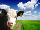picture of calves  - Head of the calf against the sky - JPG